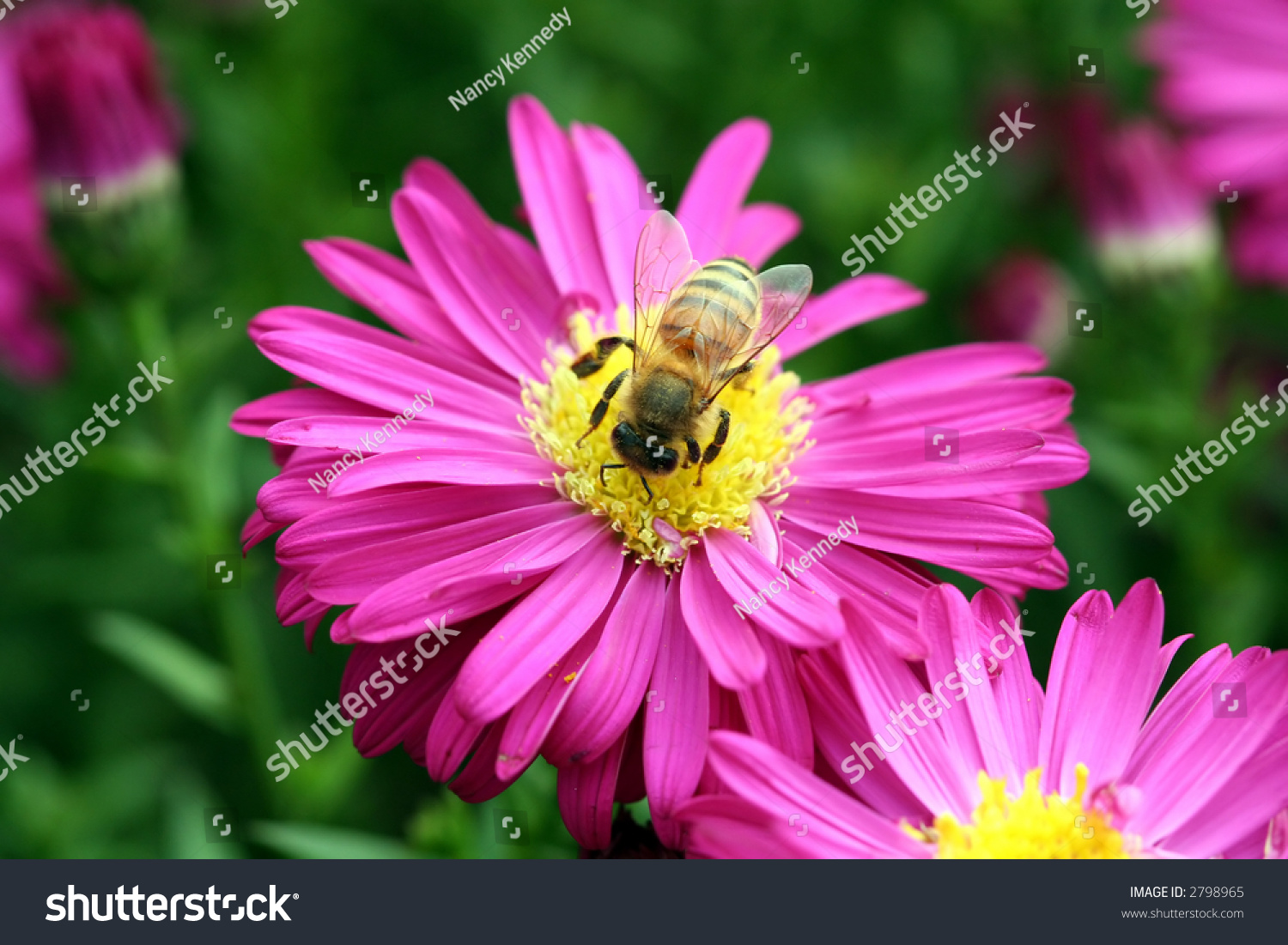 Honey bee on pink daisy like stock photo edit now 2798965 honey bee on a pink daisy like flower izmirmasajfo