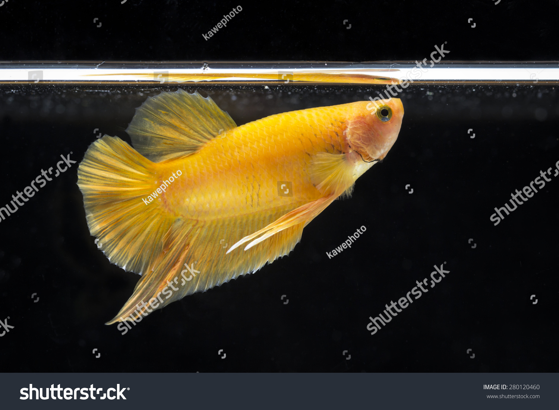 Image Close Betta Fish Small Beautiful Stock Photo