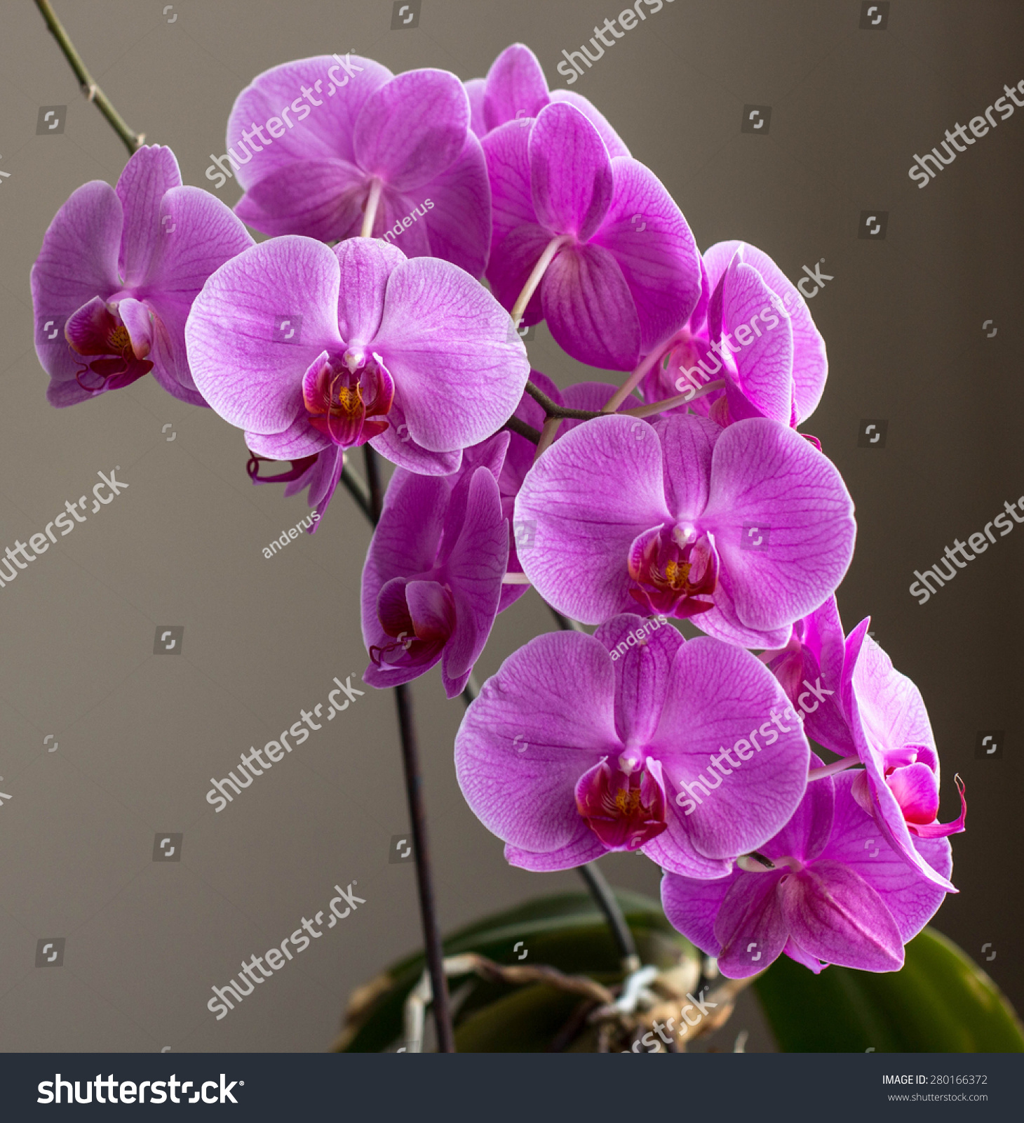 Beautiful flowers blooming orchid closeup stock photo 280166372 beautiful flowers blooming orchid closeup izmirmasajfo Images
