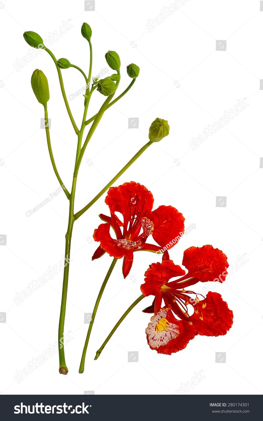 孔雀花,Delonix regia,堆崭露头角的孤立在白色