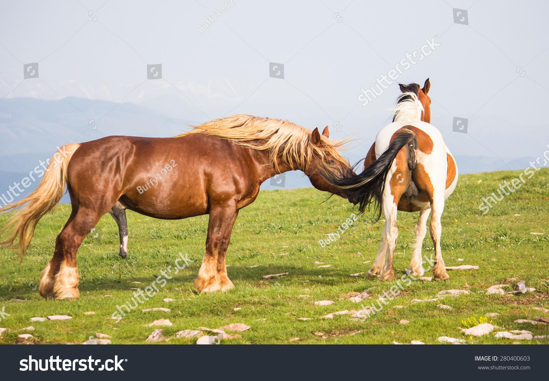 Stallion cock