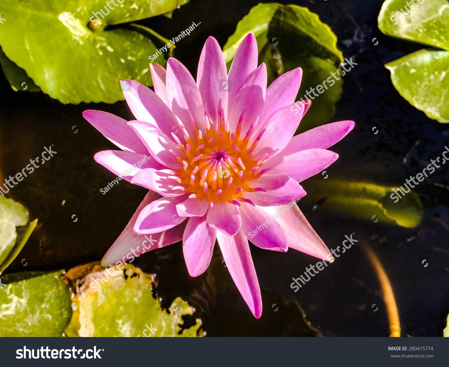 Beautiful Pink Lotus Flower Morning Thank Stock Photo Royalty Free