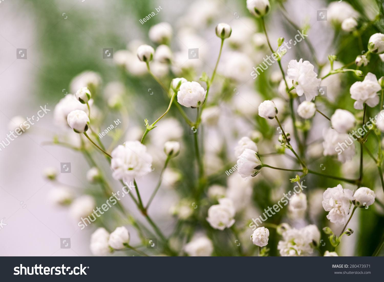 Gypsophila Plant Small White Flowers Used Stock Photo Edit Now
