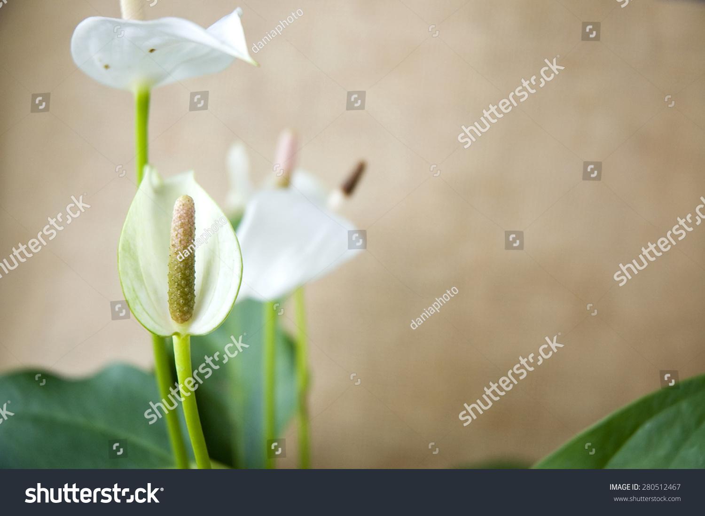 Close Detail Beautiful White Anthurium Flower Stock Photo 100
