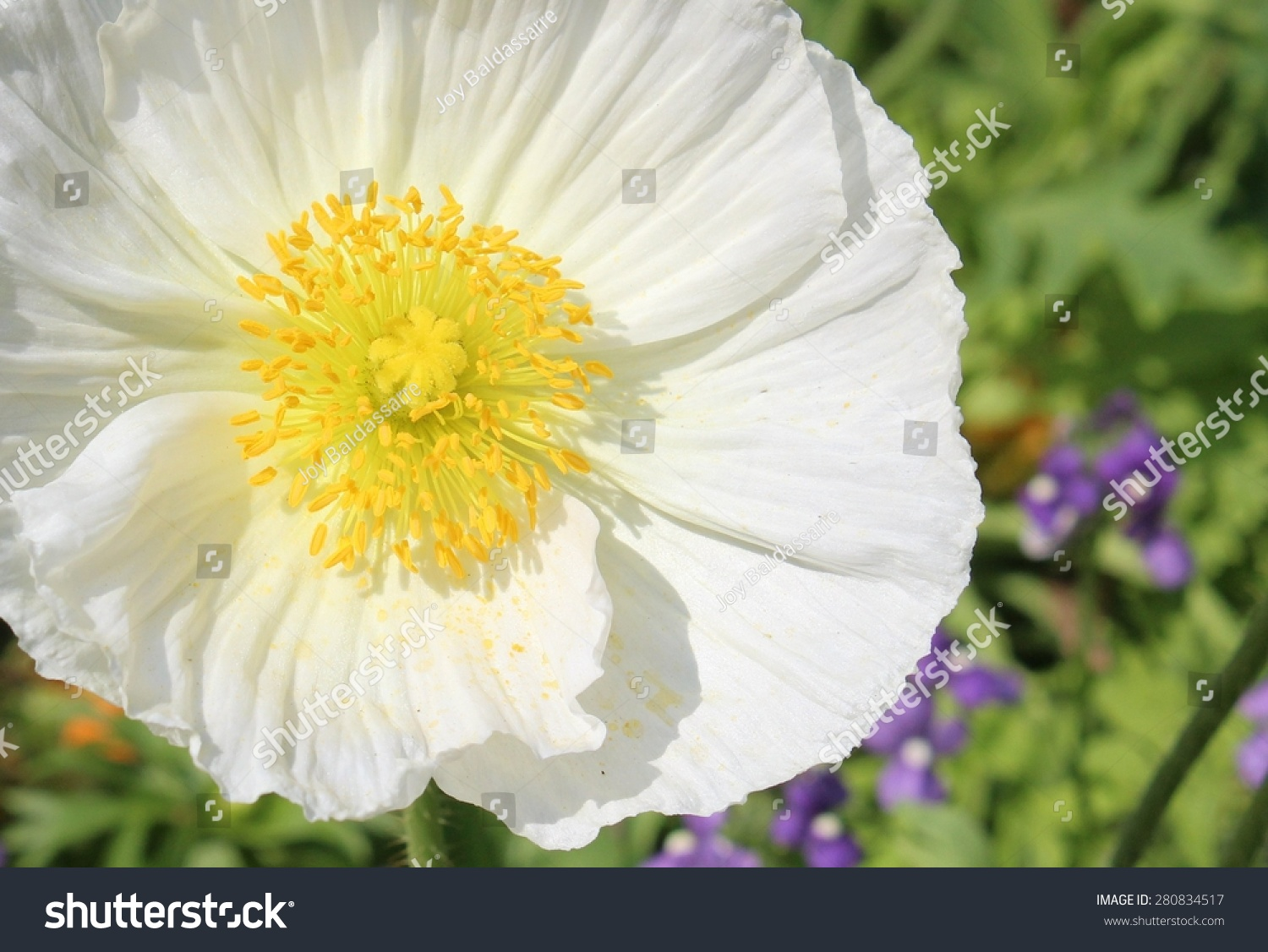White And Yellow Anemone Flower Ez Canvas
