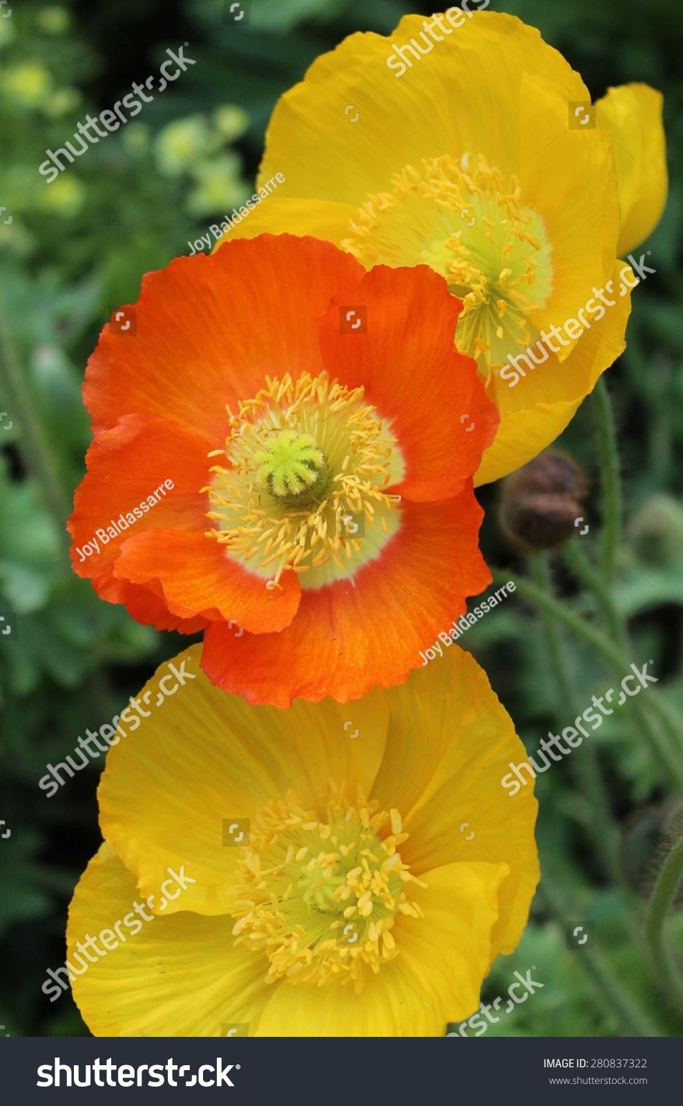 Orange Yellow Poppies Outside Garden Stock Photo Edit Now