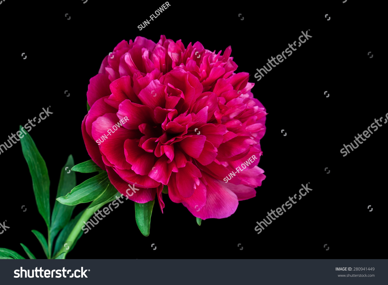 Dark red ruby rose peony flower stock photo edit now 280941449 dark red ruby rose peony flower on black background floral wallpaper mightylinksfo