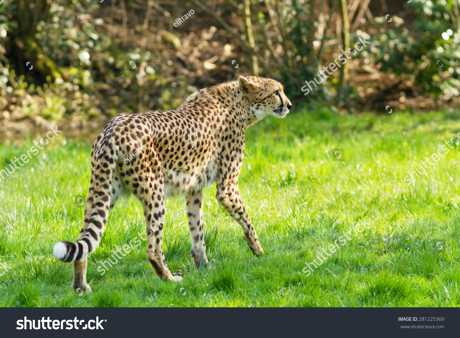 Beautiful Cheetah (Acinonyx Jubatus) Stock Photo 281225369