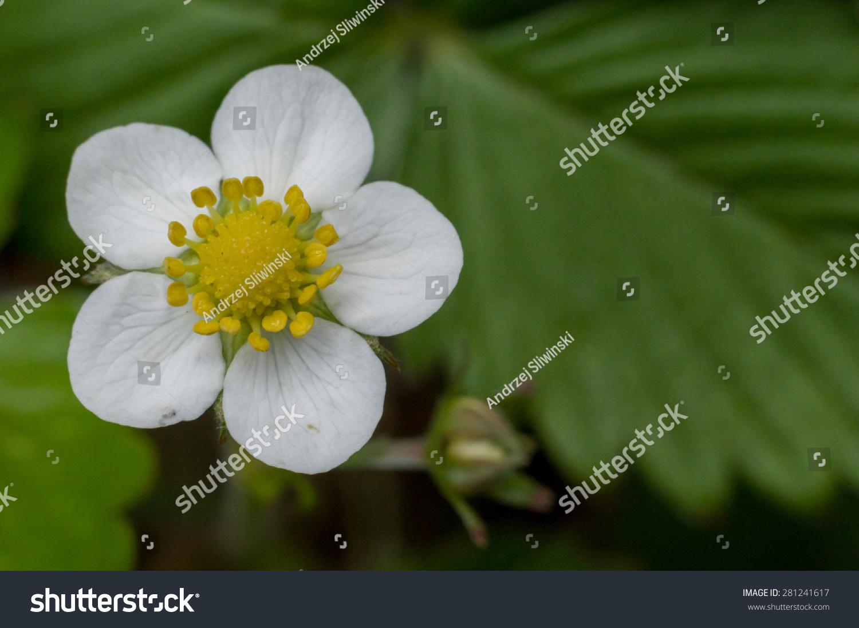Wild Strawberry Flower White Petals Stock Photo Edit Now 281241617