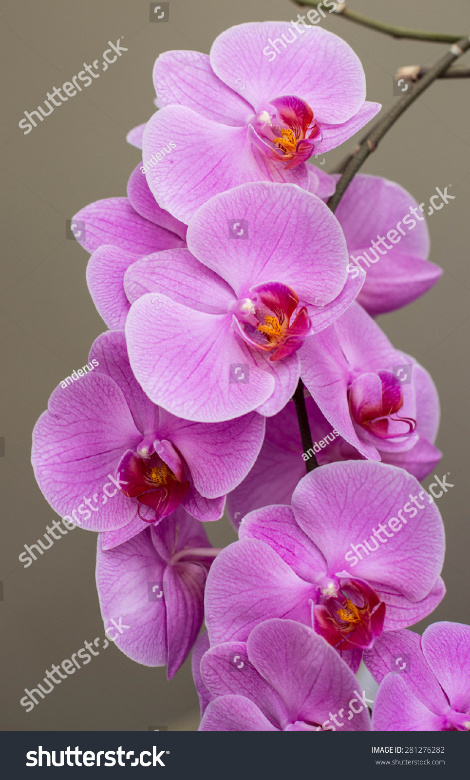 Beautiful flowers blooming orchid closeup stock photo 281276282 beautiful flowers blooming orchid closeup izmirmasajfo Images