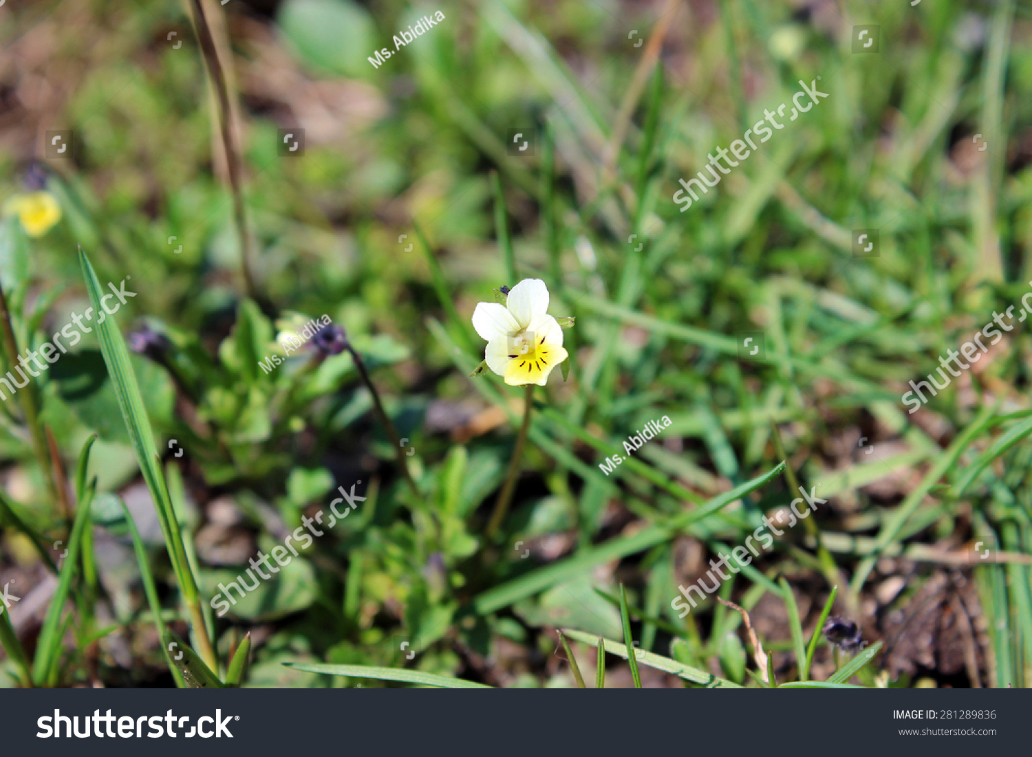 Pansy Flower Small Yellow Flowers Spring Stock Photo Safe To Use