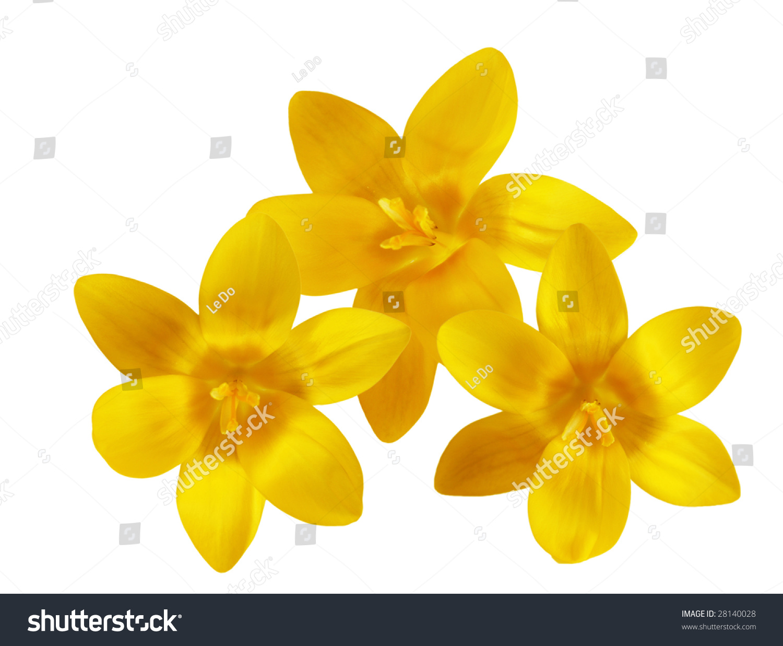 Three Fresh Yellow Crocus Flowers Isolated Stock Photo Edit Now
