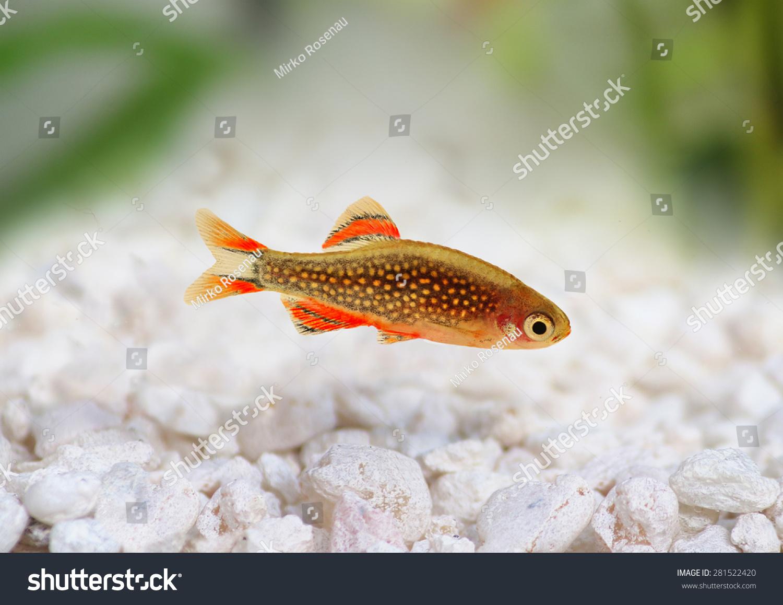 Freshwater aquarium fish rasbora - Galaxy Rasbora Danio Margaritatus Pearl Danio Freshwater Aquarium Fish