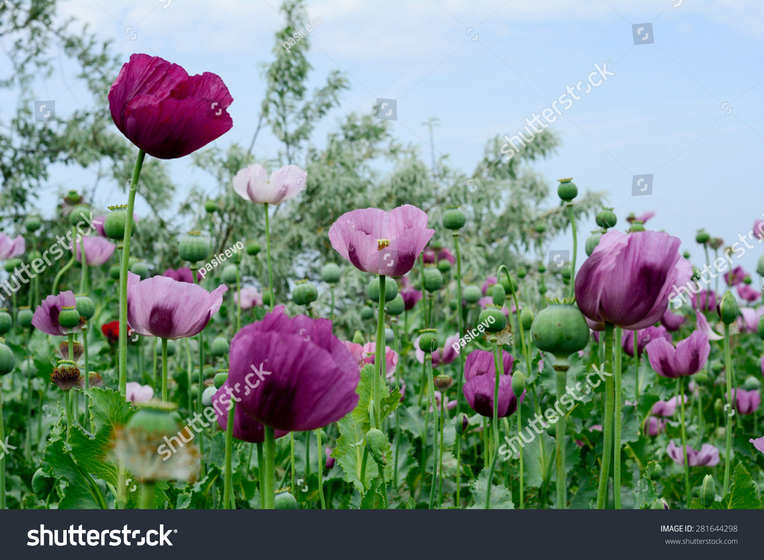 Poppy Flower Variety Colors Very Beautiful Stock Photo Edit Now