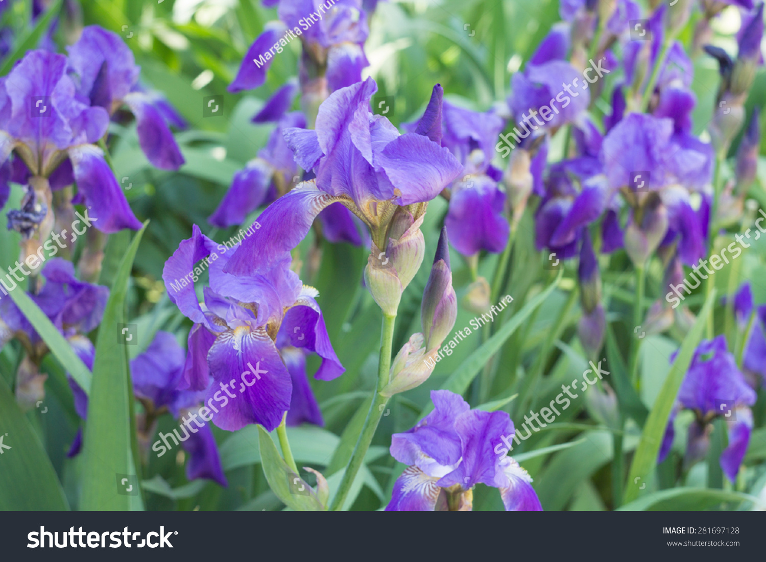 Flowers iris choice image flower wallpaper hd close purple iris flowers iris blooming stock photo 281697128 close up of purple iris flowers iris izmirmasajfo Choice Image