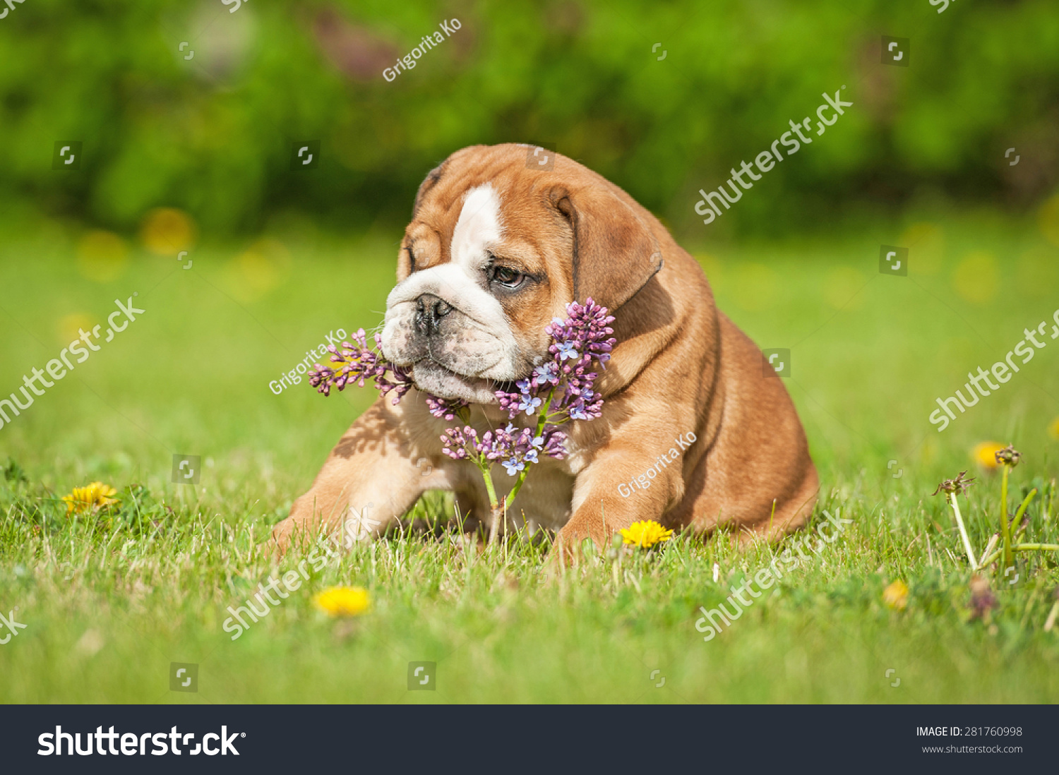 English Bulldog Puppy Playing Lilac Flower Stock Photo Edit Now 281760998
