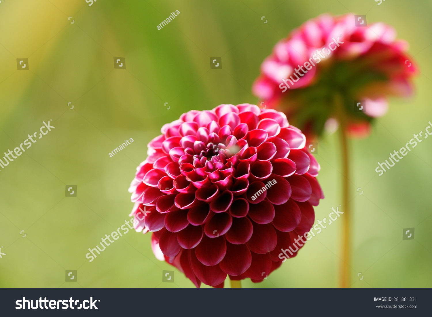Two Violet Dahlia Flowers Home Garden Stock Photo Edit Now