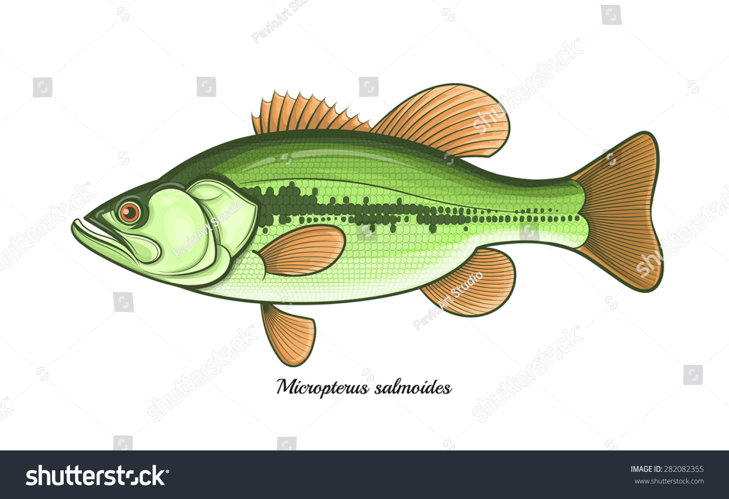 Bass Fish Outline Color Vector Illustration Stock Vector HD (Royalty ...