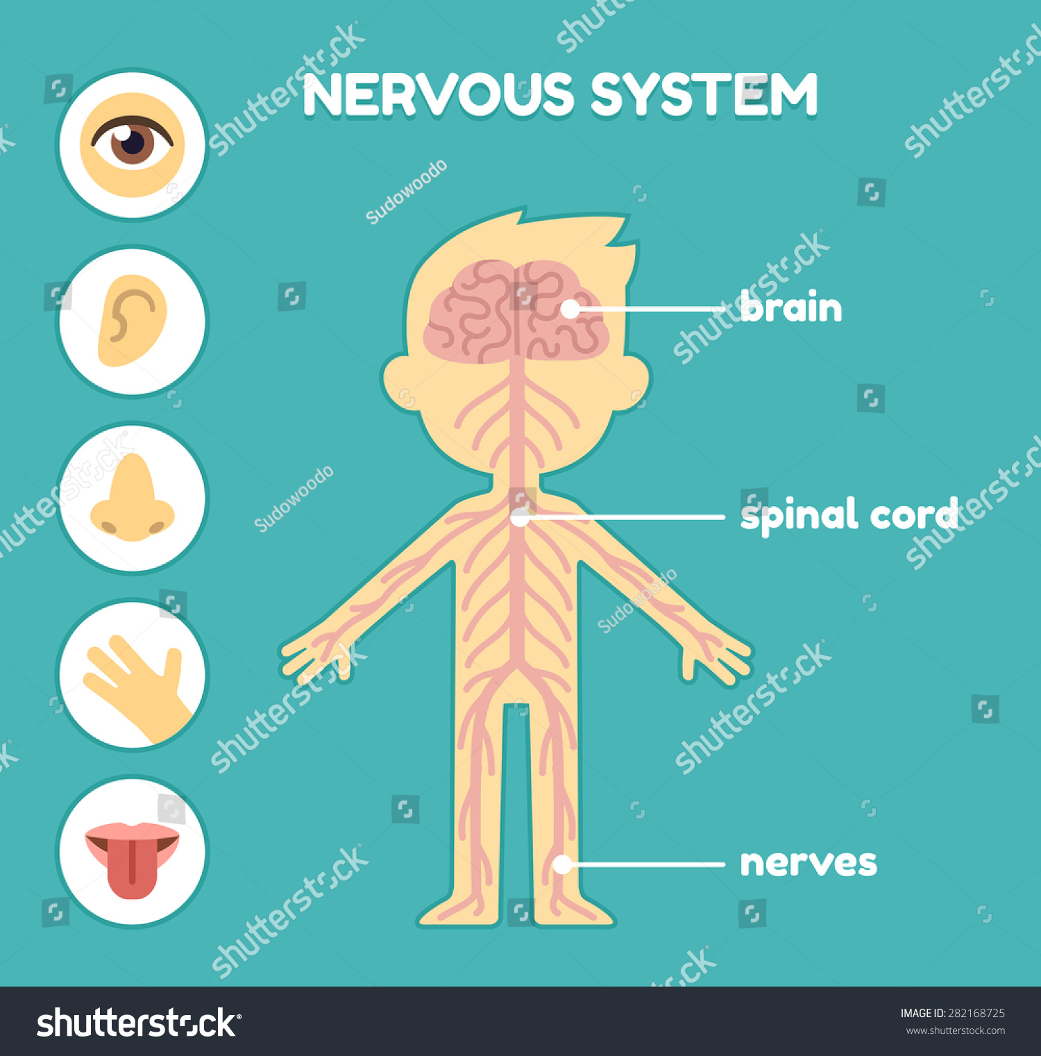 the human brain center of the nervous system In humans, the nervous system is divided into the central nervous system (cns), which consists of the brain and spinal cord how the human brain works which is attached to the brain, runs down the center of your body.