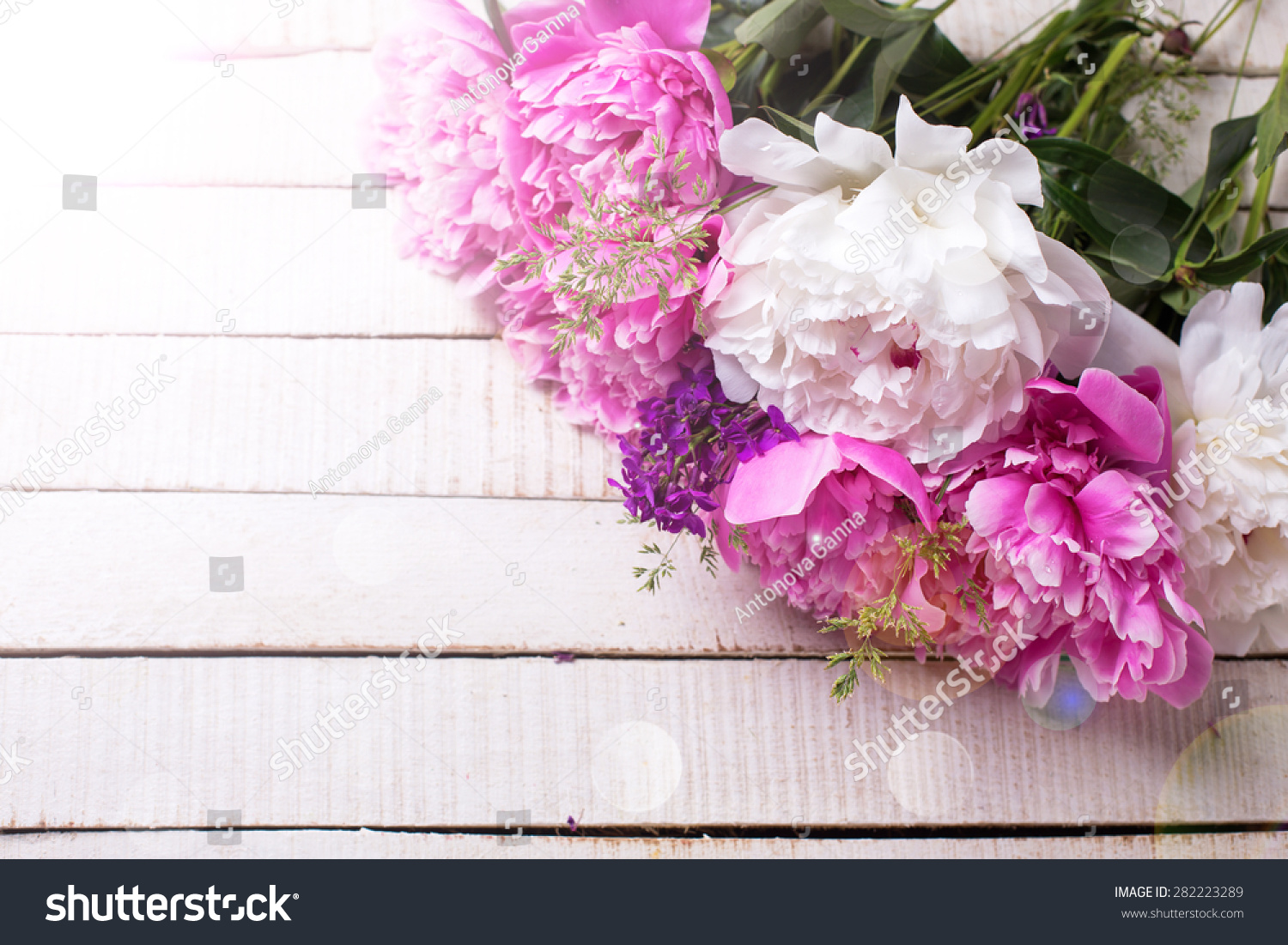 Fresh Pink And White Peonies Flowers In Ray Of Light On White