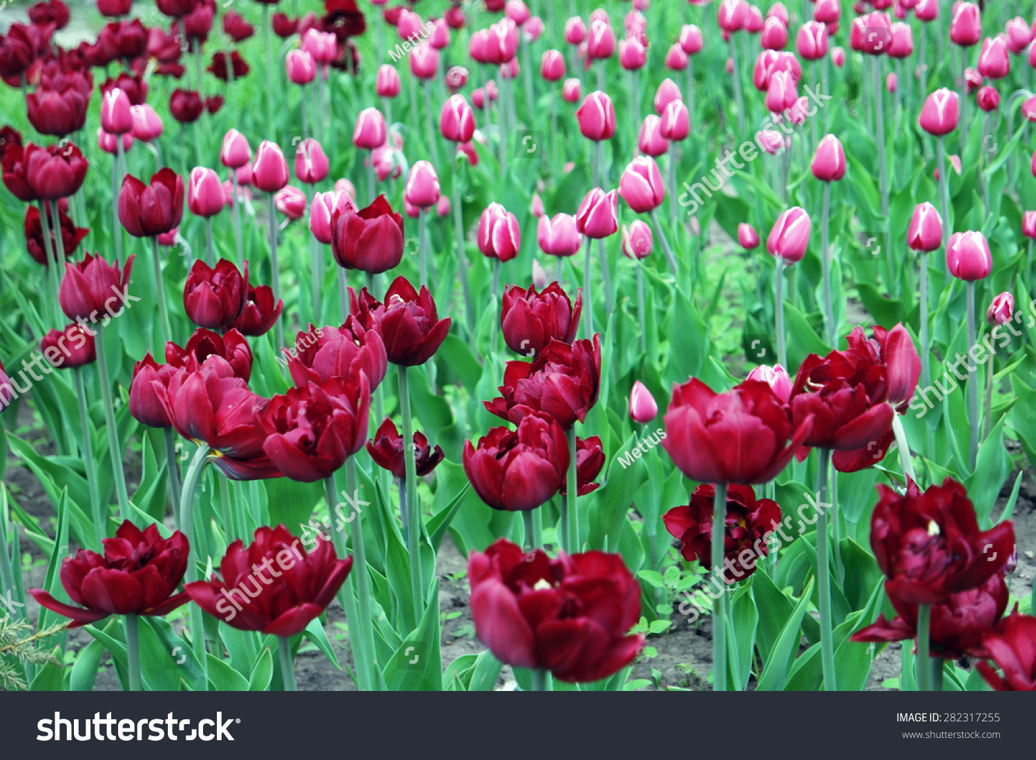 stock-photo-tulips-field-of-two-color-fl