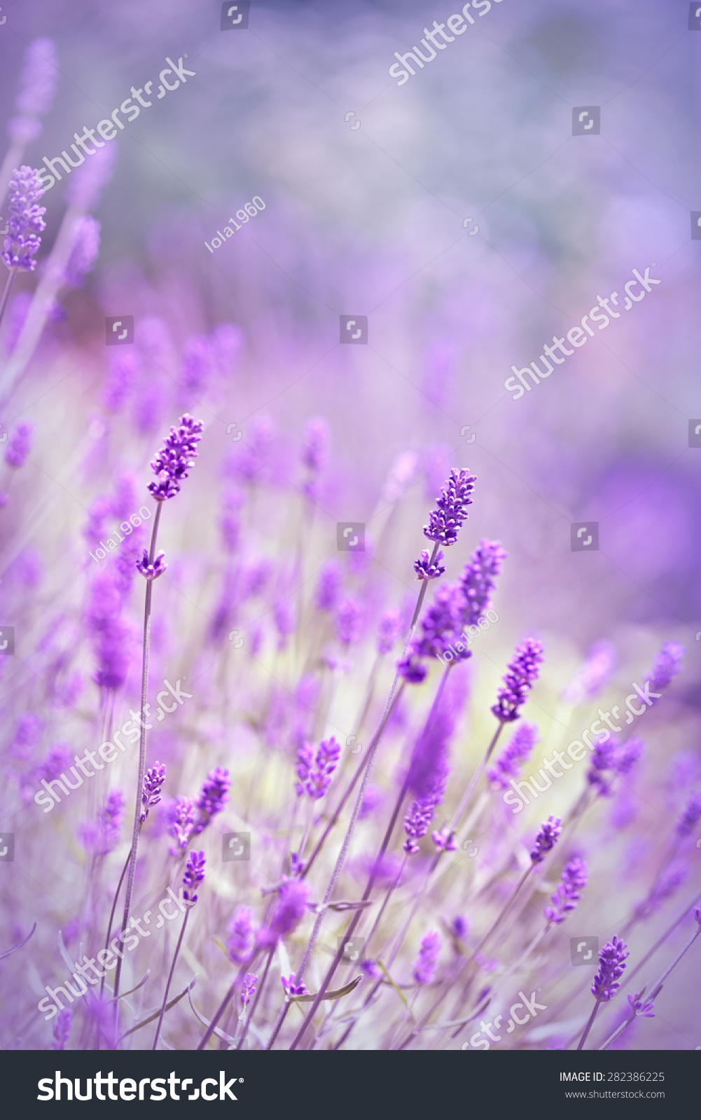 Beautiful lavender flowers ez canvas id 282386225 izmirmasajfo