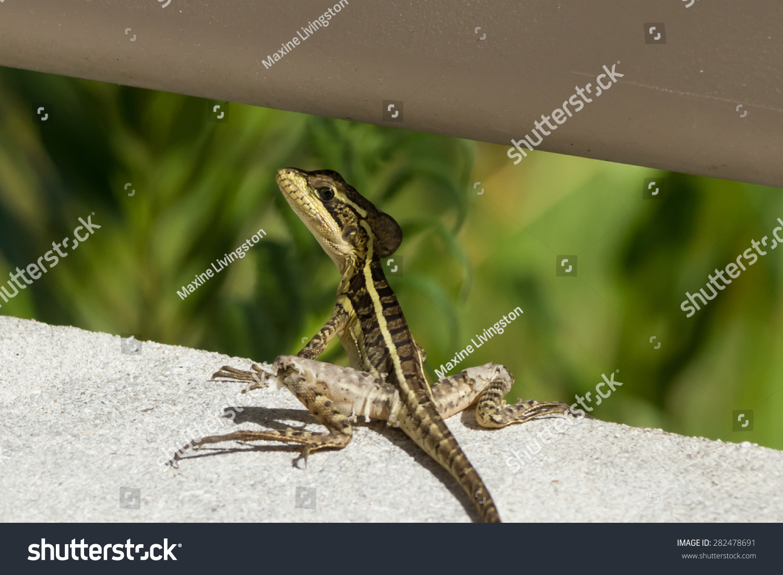 U S Lizard Brown Basilisk ...
