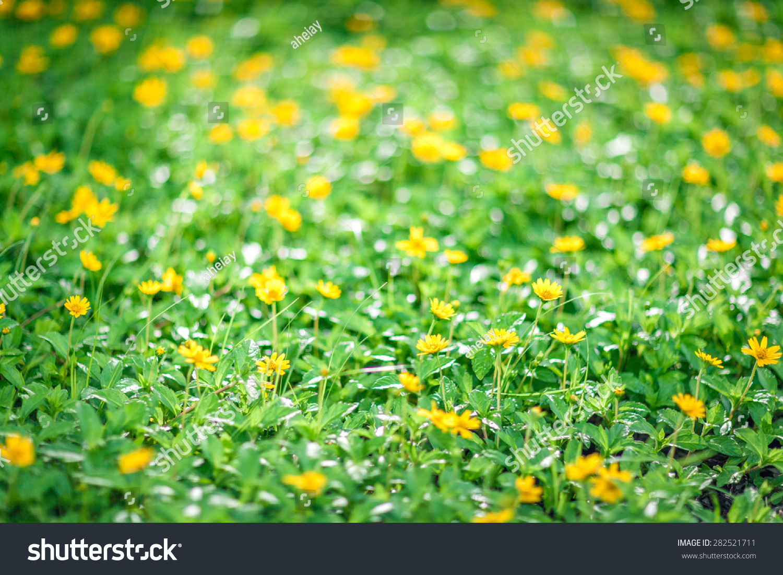 Little Yellow Flowers On Field Stock Photo Edit Now 282521711
