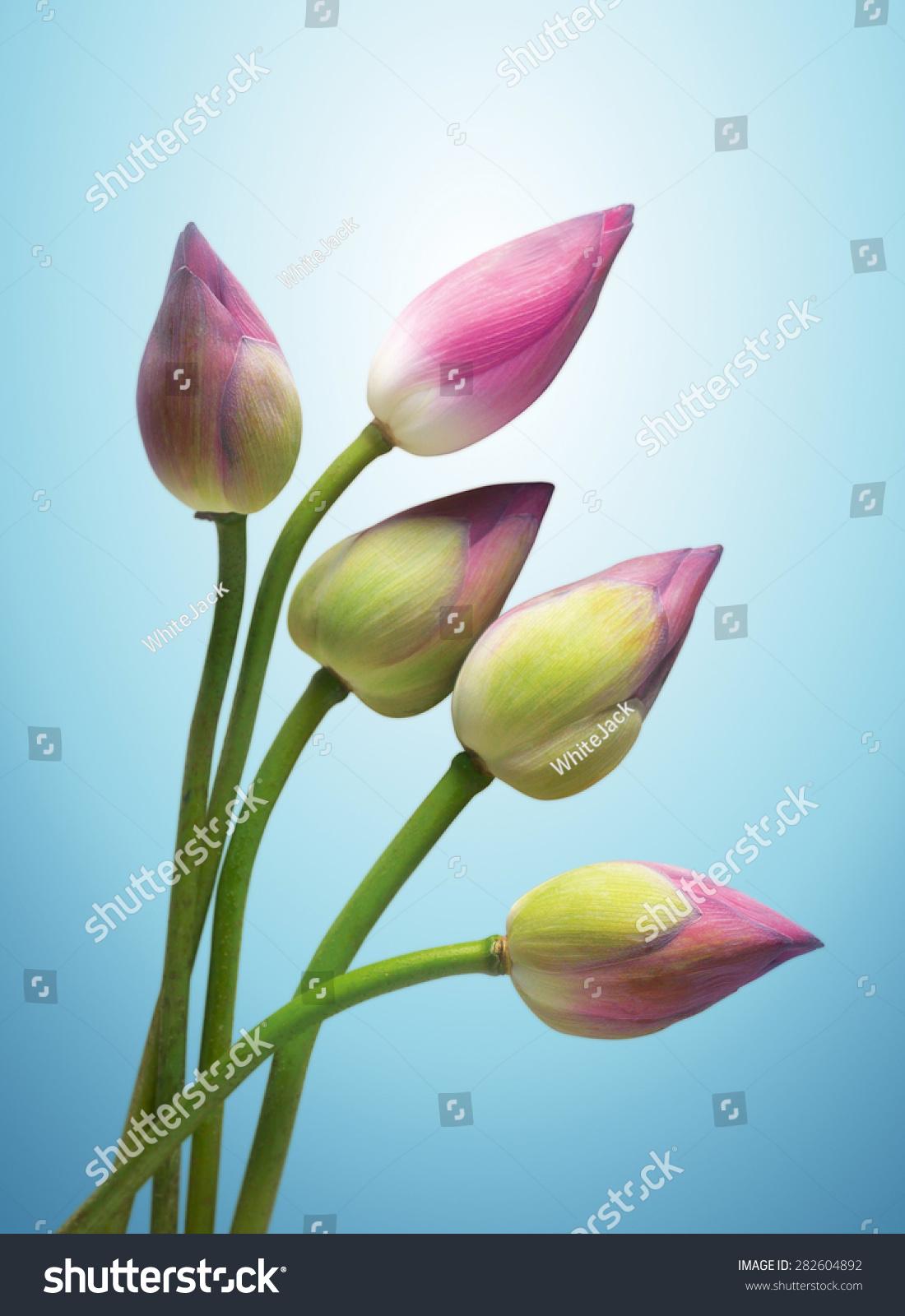 Lotus flower buds stock photo edit now 282604892 shutterstock lotus flower buds mightylinksfo