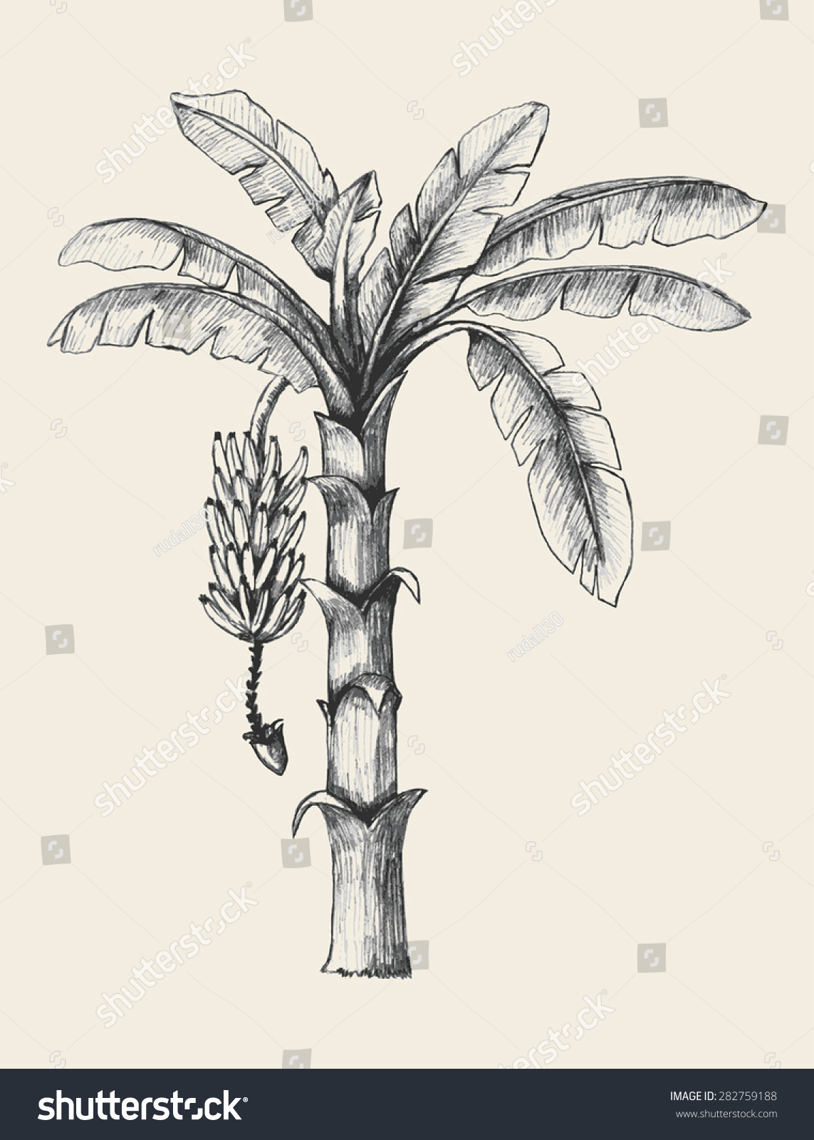 Sketch illustration banana tree stock vector royalty free 282759188