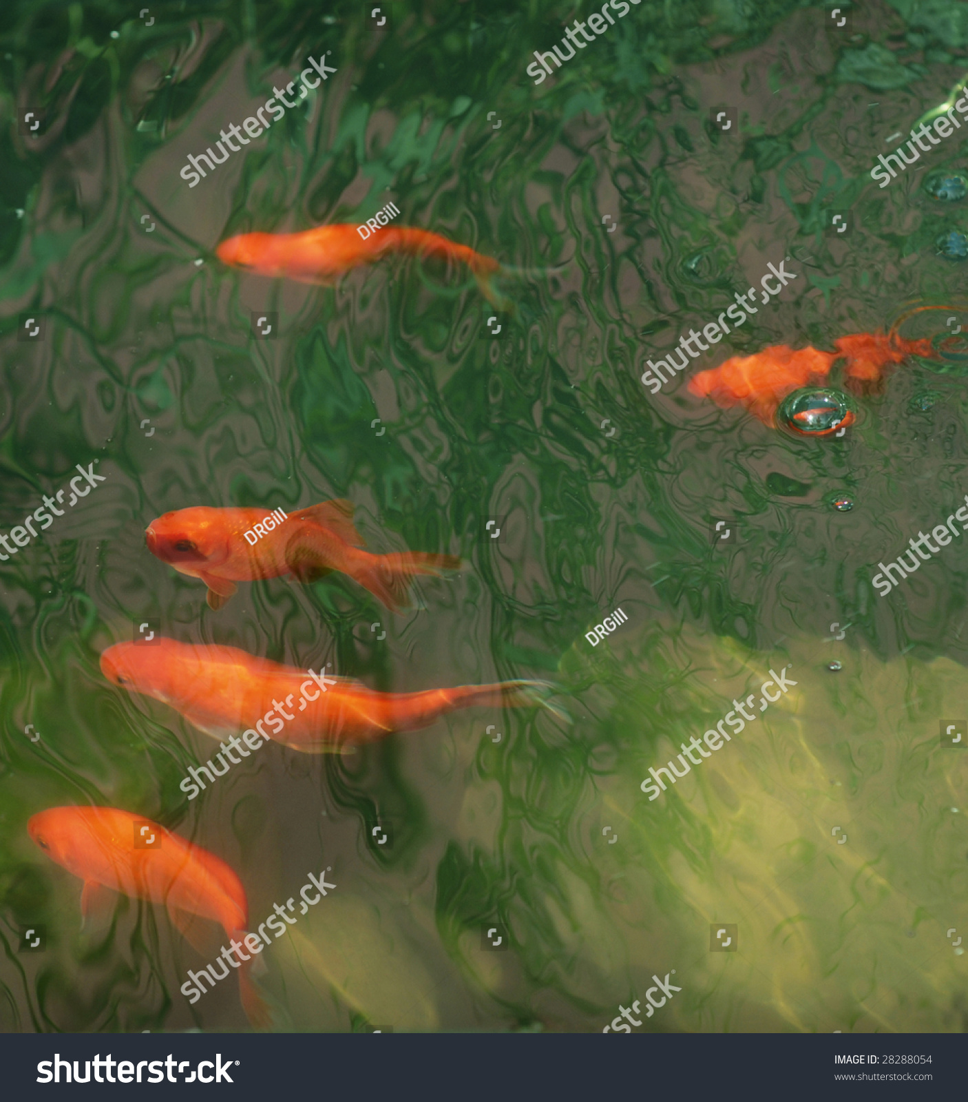 Orange Coy Fish Colorful Pool Stock Photo (Royalty Free) 28288054 ...