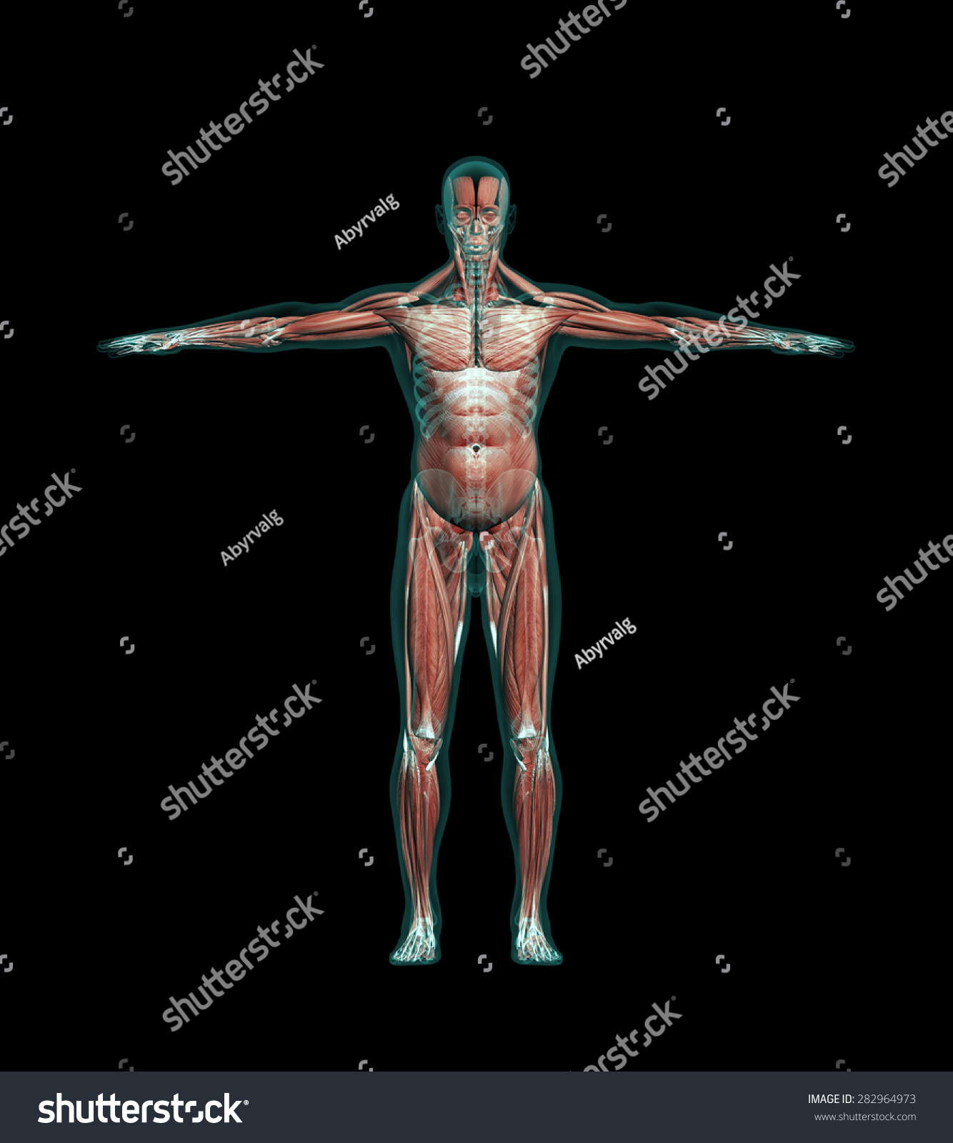 Human Anatomy Muscles Leg Bones Xray Stock Illustration 282964973 ...