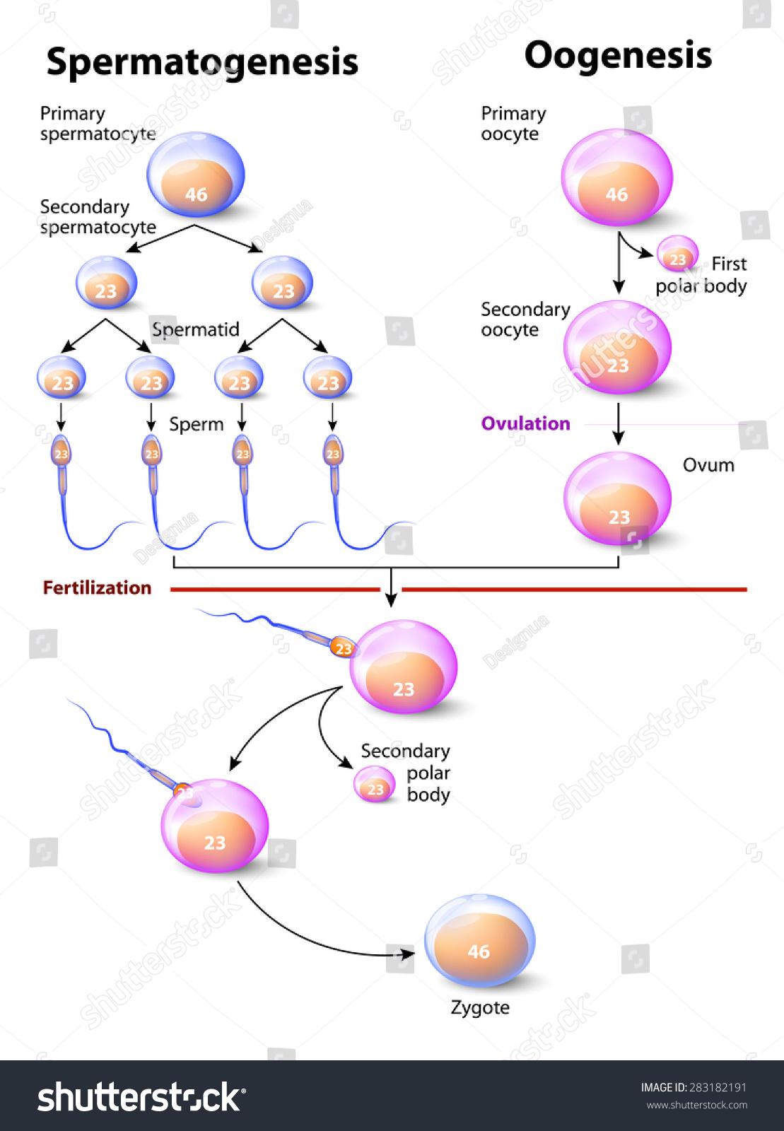 vremya-razvitiya-spermi