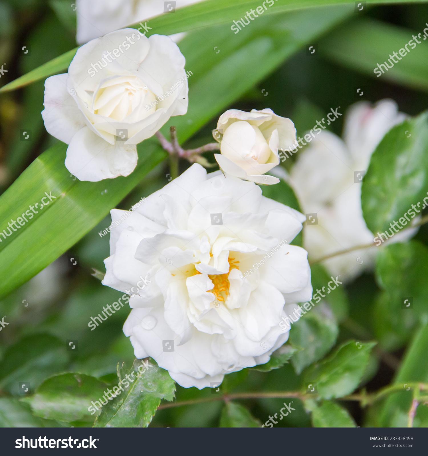 White Tea Roses Stock Photo Edit Now 283328498 Shutterstock