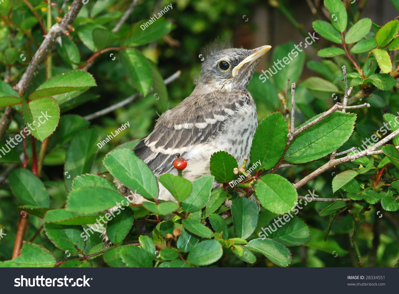 Baby mockingbird feeding - YouTube  Newborn Mockingbird