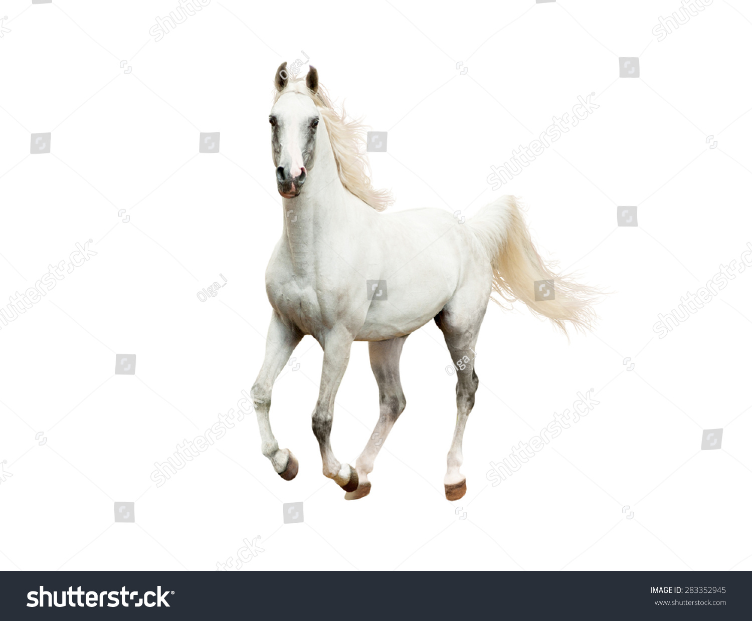 White Arabian Horse Galloping Isolated On Stock Photo Edit Now 283352945