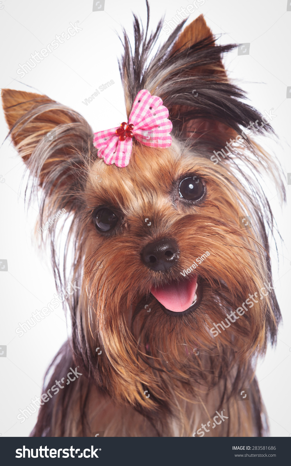 Face Of A Cute Yorkshire Terrier Baby Dog Looking Happy On Studio
