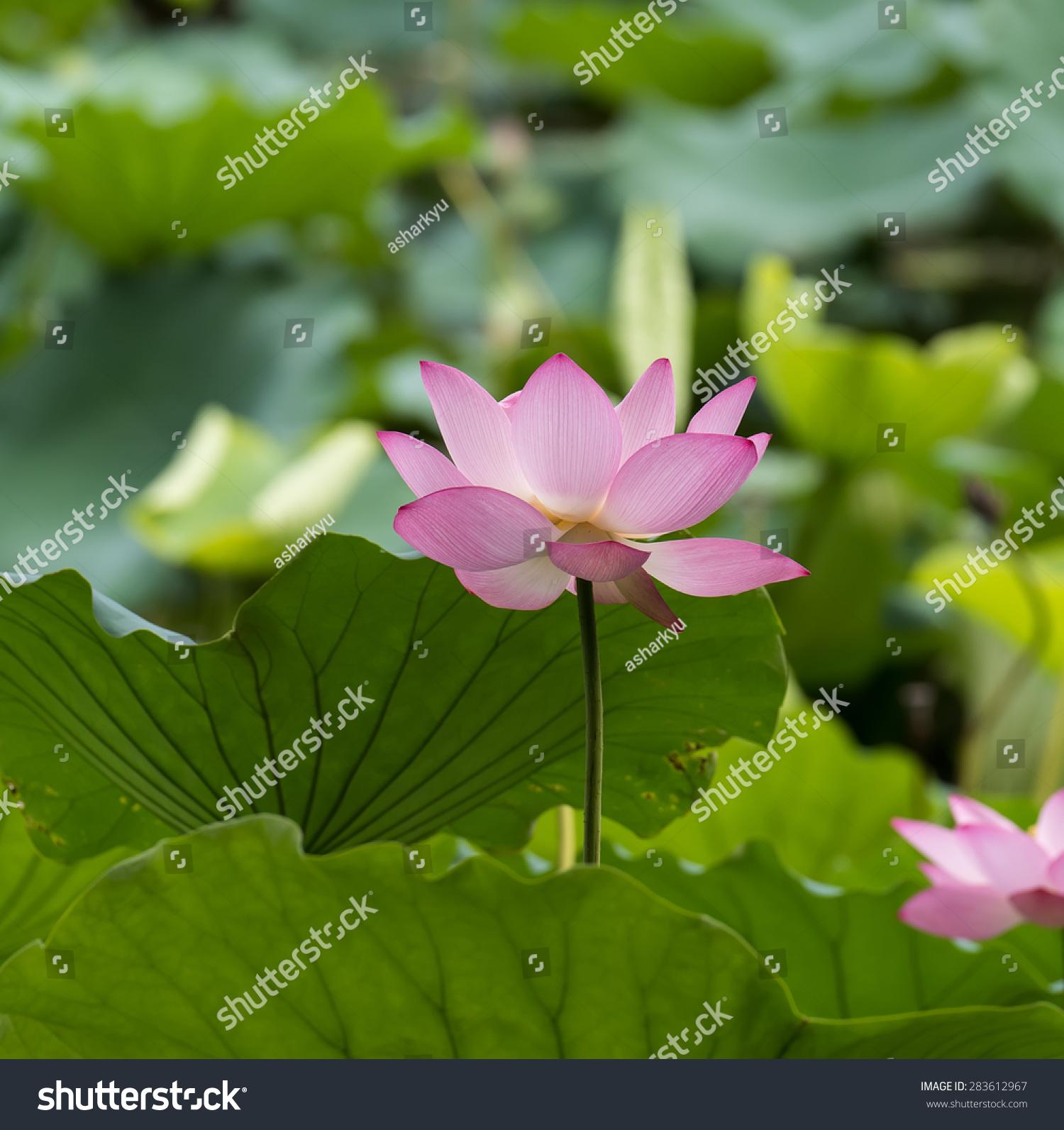 Pink lotus flower beautiful lotus stock photo edit now shutterstock pink lotus flower beautiful lotus izmirmasajfo