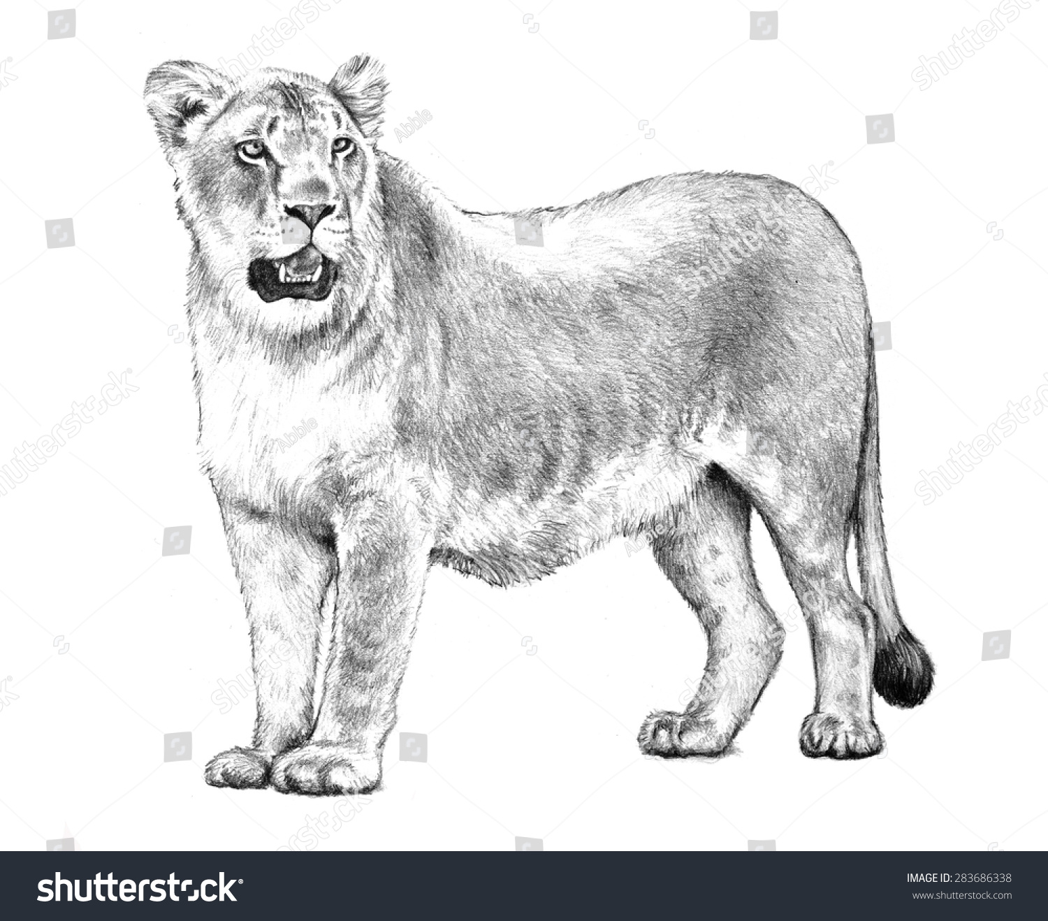 Female Lion Sketch Or Lioness Illustration Hand Drawn