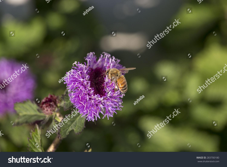 Honey Bee Collects Pollen From Dainty Centranthemum Intermedium