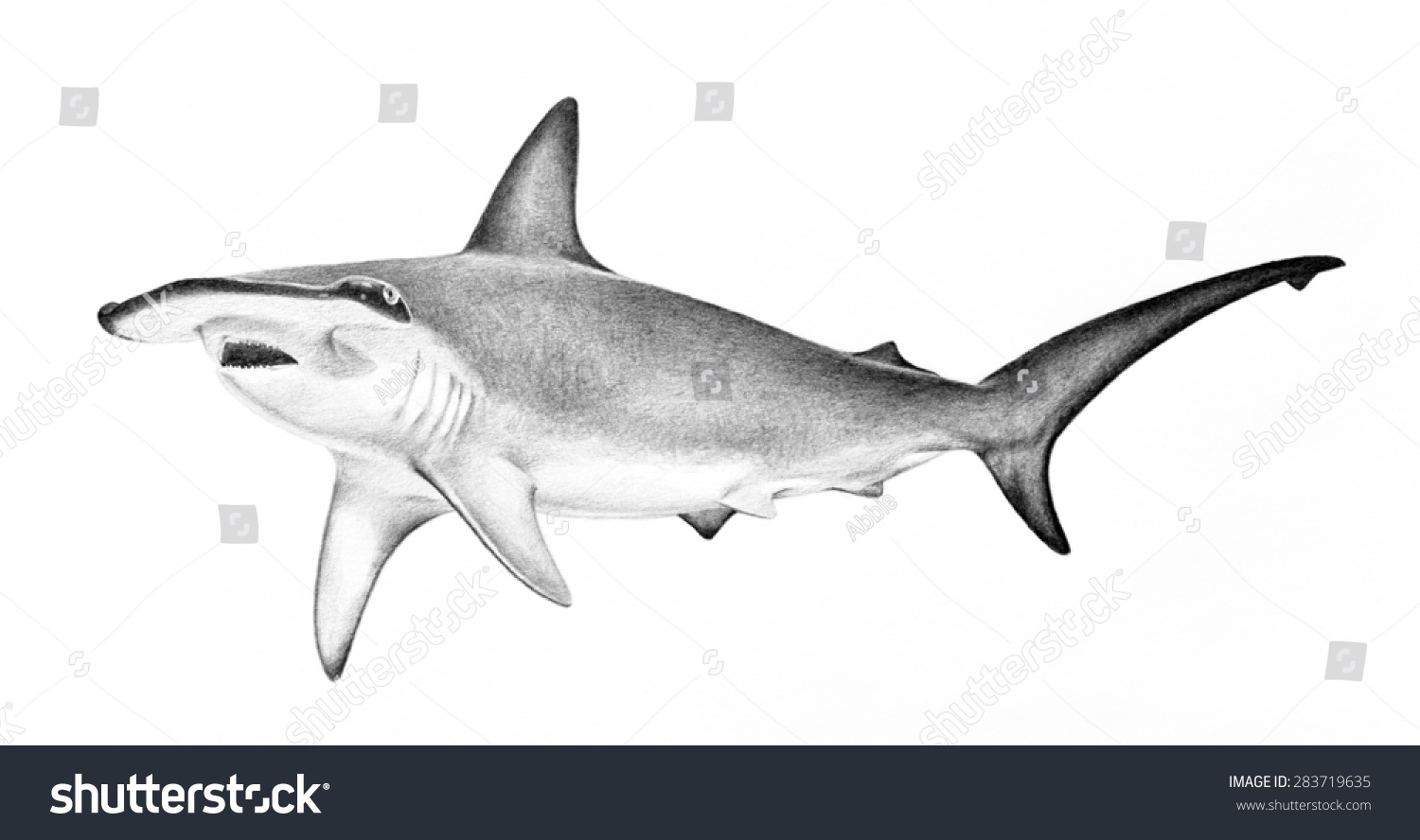 hammerhead shark illustration hand drawn sketch of hammerhead shark swimming dangerous scary animal wildlife