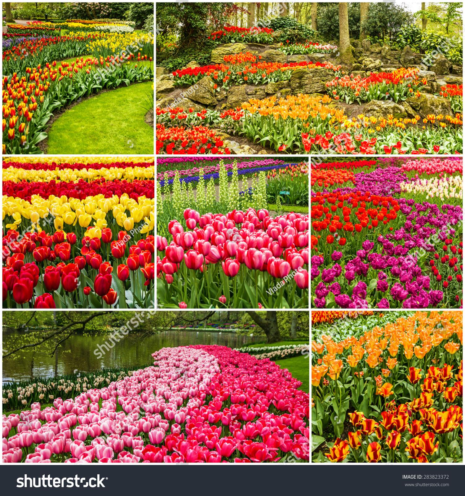 Tulip Amsterdam Keukenhof: Tulips Collage Keukenhof Flower Park Holland Stock Photo