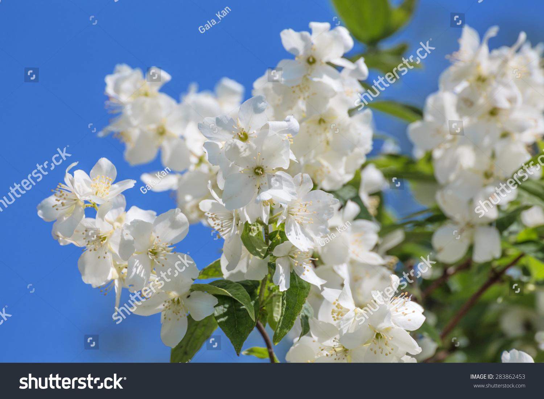 Jasmine branch with flowers against the blue sky ez canvas id 283862453 izmirmasajfo