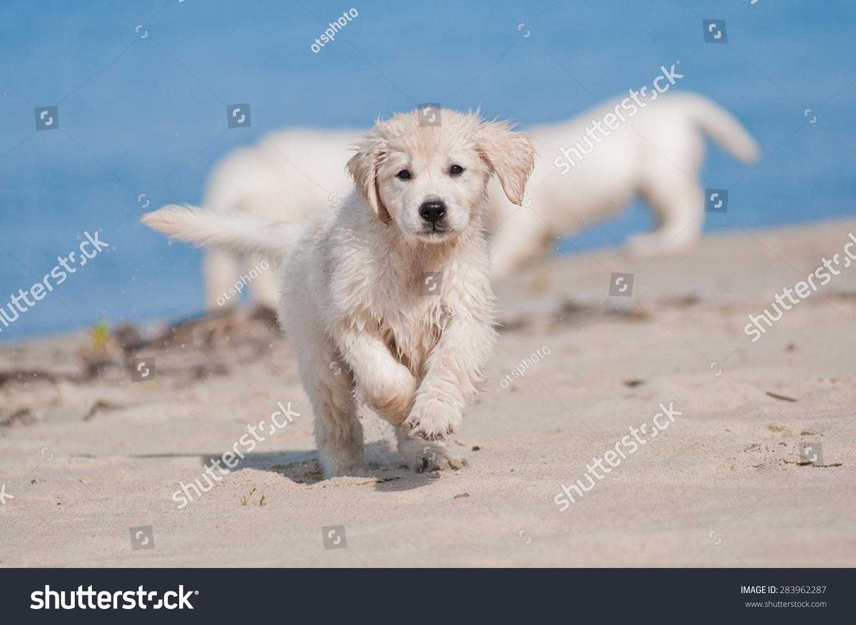 Golden Retriever Puppy On Beach Stock Photo Edit Now 283962287