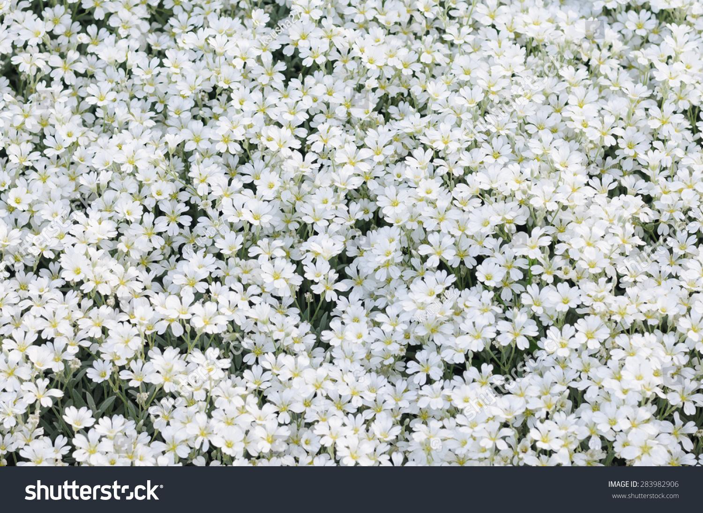 White Flowers Ez Canvas