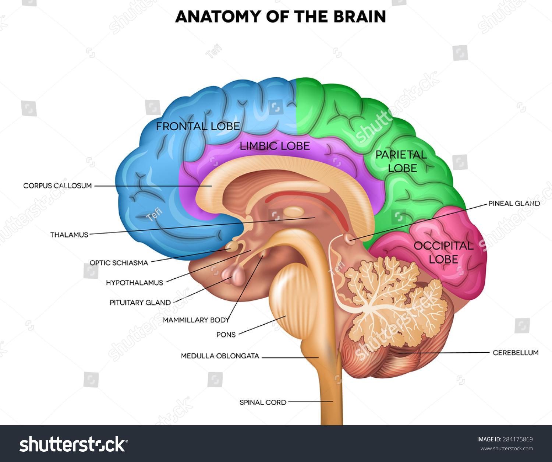 Human Brain Lobes Beautiful Colorful Illustration Stock Illustration