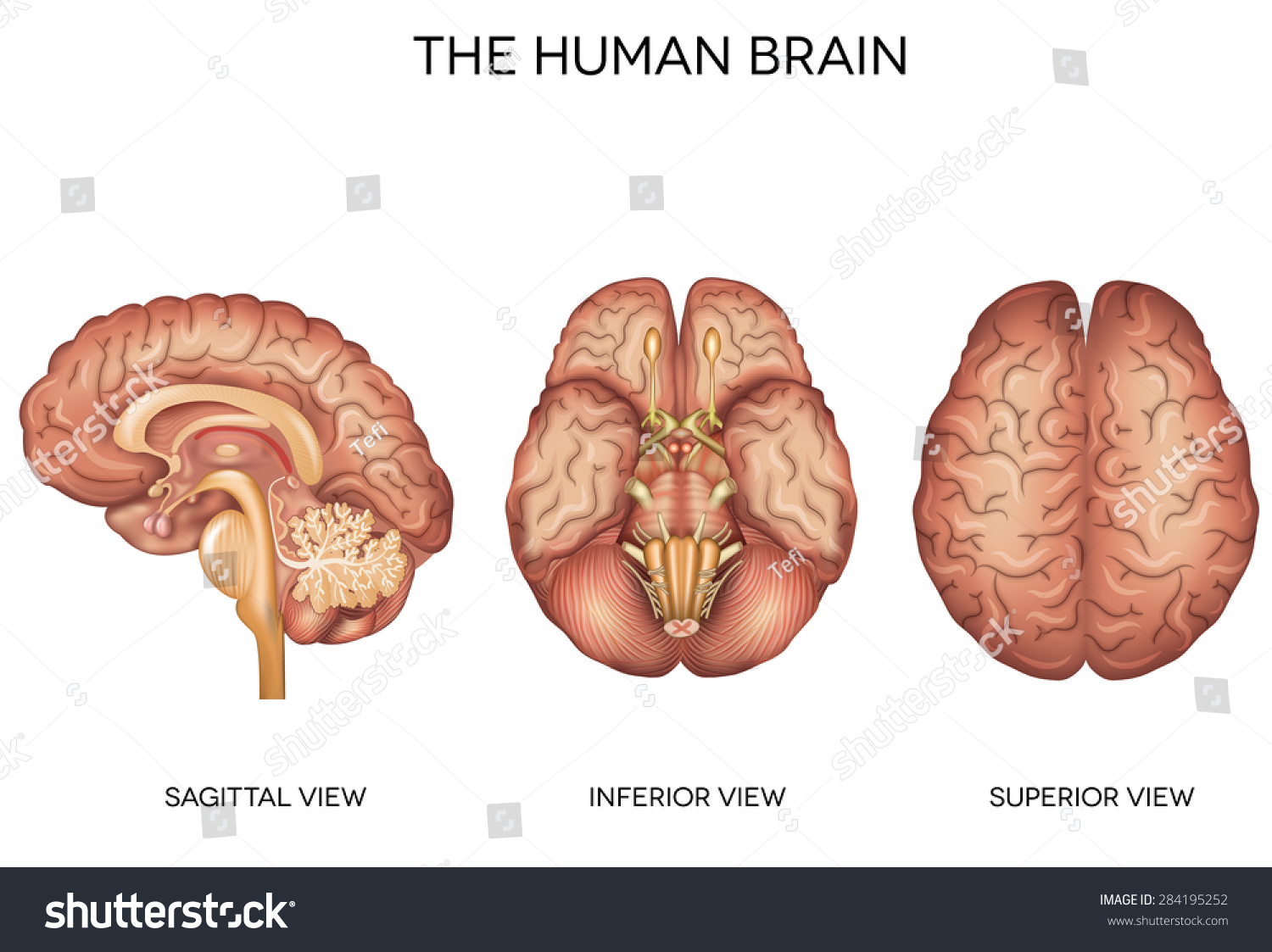 Human Brain Detailed Anatomy Different Views Stock Vector (Royalty ...