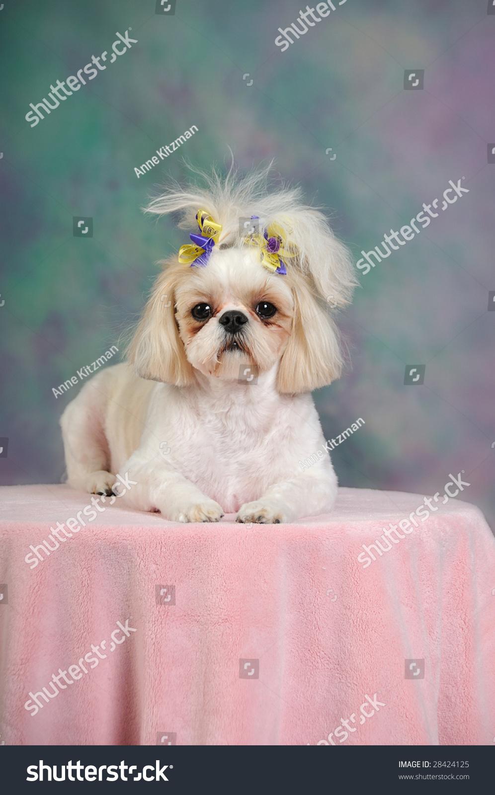 Shih Tzu Dog Short Summer Haircut Stock Photo Edit Now 28424125