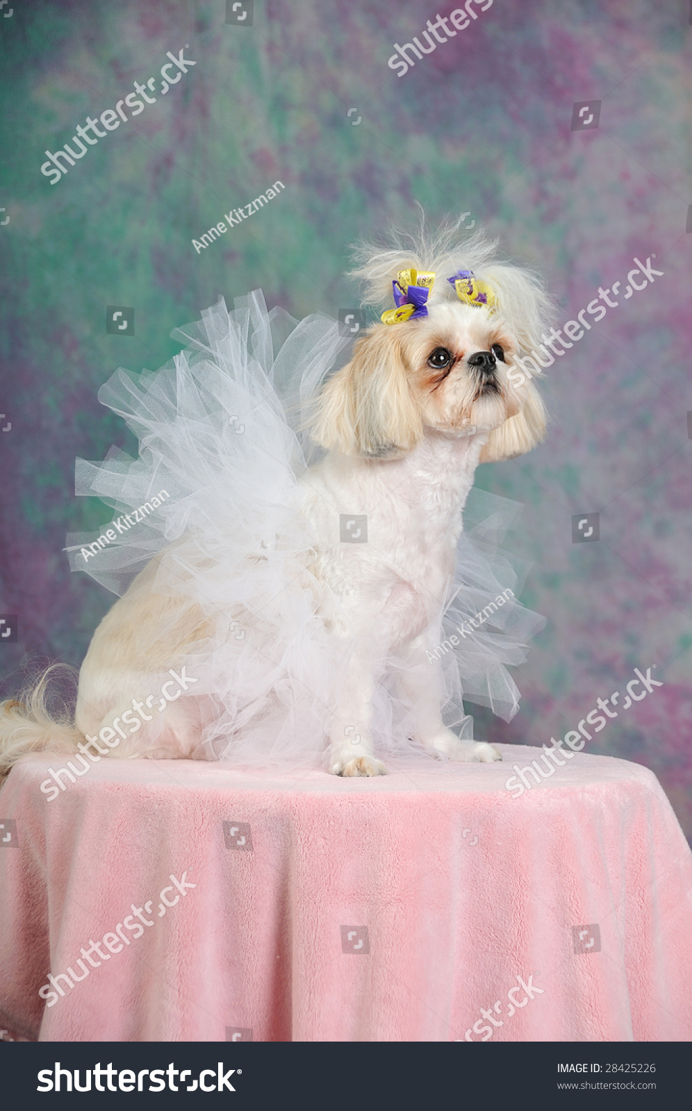 Shih Tzu Dog Short Summer Haircut Stock Photo Edit Now 28425226