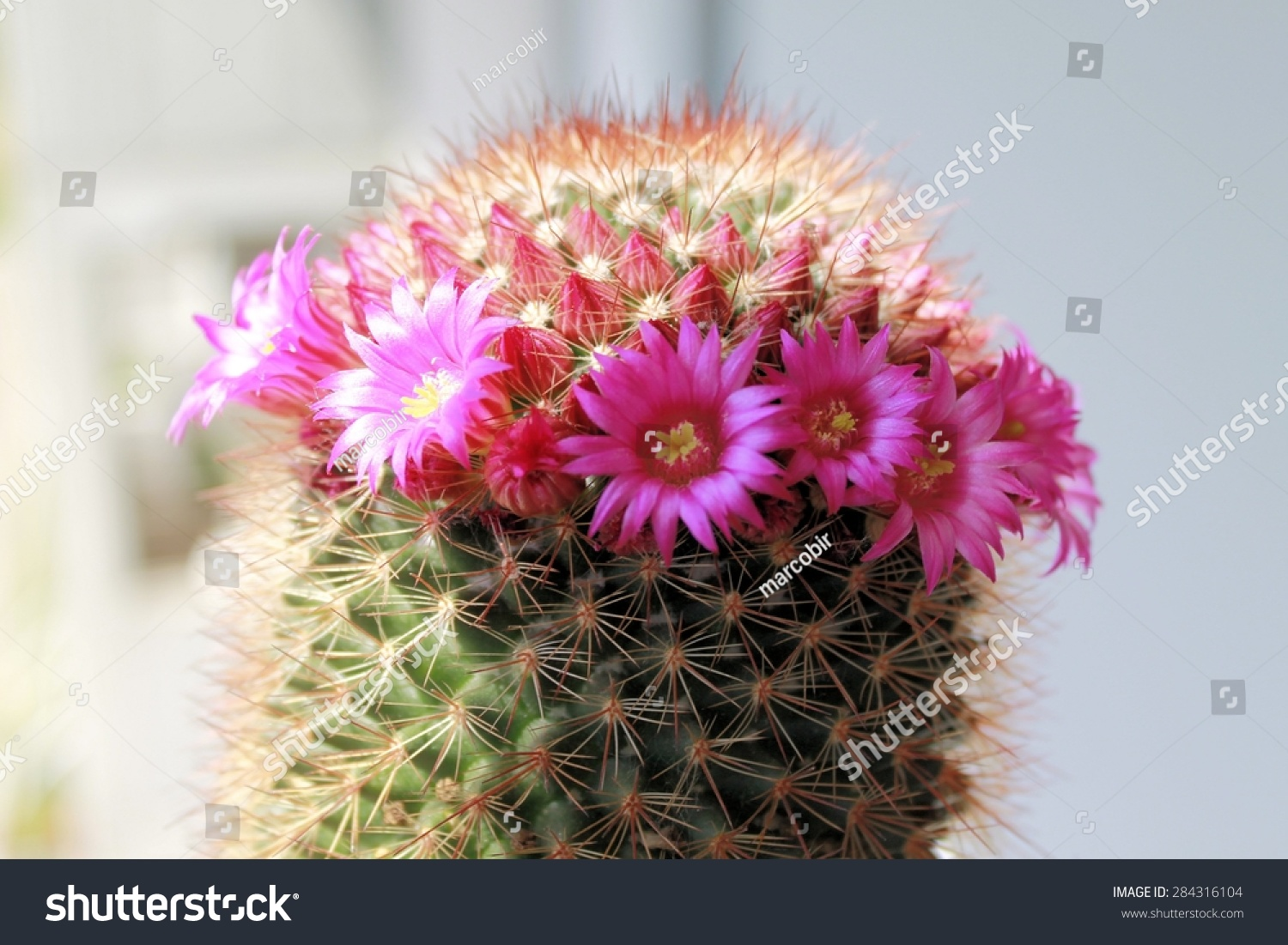 Pink Flowers On Cactus Stock Photo Edit Now 284316104 Shutterstock